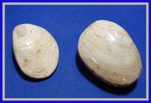 clam_large
